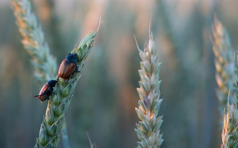 Шкідники на пшениці